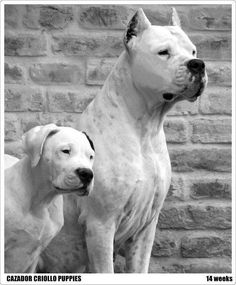 Dogo Argentino with baby! Big Dogs, Large Dogs, I Love Dogs, Dogs And Puppies, Mastiff Breeds, Dog Breeds, Beautiful Dogs, Animals Beautiful, Dog Argentino