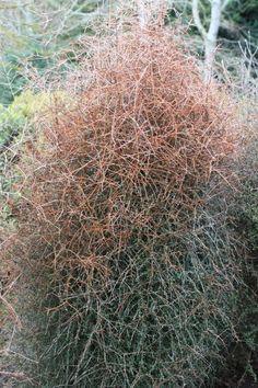 Coprosma virescens