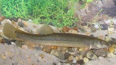 Dojo Loach, Weather Loach, Misgurnus anguillicaudatus, Oriental weatherfish…