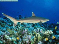 Gran Barrera de Coral. Tiburón de arrecife. Se los reconoce por su color pardo. Aunque no lo parezca, son inofensivos.