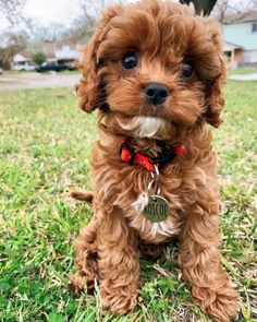 Cavapoo Puppies: Information, Characteristics, Facts, Videos #cavapoo #cavapoopuppies #cutepuppies #dogs - DOGBEAST