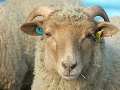 Portland Sheep (from the Isle of Portland, Dorset, UK. Like the Dorset Horn, both ewes and rams have horns)
