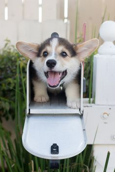 A Corgi In A Mailbox, D'aw, I want one of these!