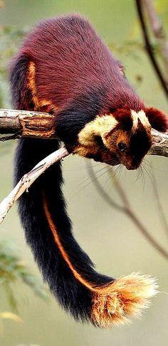 écureuil géant, inde province de malabar