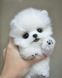 Pomeranian puppy for sale - .- Pommersche Welpen zu verkaufen – Pomeranian puppy for sale – - Baby Animals Super Cute, Cute Baby Dogs, Cute Little Puppies, Cute Little Animals, Cute Puppies, Puppies Puppies, Teacup Puppies, Puppies Stuff, Cheap Puppies