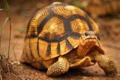 THE BEAUTIFUL BUT ENDANGERED PLOUGHSHARE TORTOISE FOUND ONLY ON THE ISLAND OF MADAGASCAR