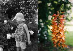 Rusty perennial foxglove -  Digitalis Illumination apricot