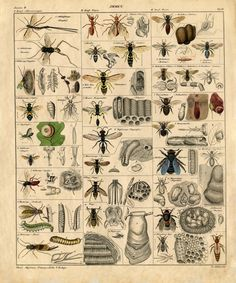 This vintage insects natural history printable would be fantastic enlarged as wall art!
