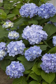 Mini Penny™ Hydrangea - A wonderful container plant, low flowering hedge or highlight of a flowering border. Highly disease resistant foliage. Shop more hydrangea in the plant catalog #spon #growbeautifully