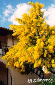 Acacia, Coastal Gardens, Flowering Trees, Backyard Landscaping, Landscape, Flowers, Gardens, Fast Growing Trees, Large Backyard Landscaping