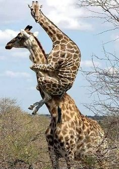 Mommy, mommy, can I have a piggy-back ride?  that awkward moment when you wish you were a pig and not a giraffe