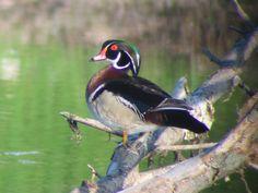Wood Duck (Aix sponsa)  Boone County, Missouri