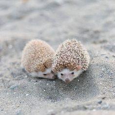 Cute hedgehogs on the beach