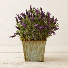 Spanish Lavender, Faux Bois Planter in Garden Plants + Flowers at Terrain