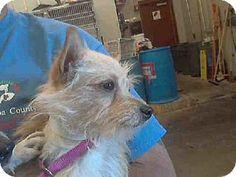 Mesa, AZ - Cairn Terrier Mix. Meet A3430924 a Dog for Adoption.
