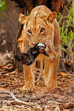 Teenage male Lion killing baby Honey Badger in the Kgalagadi Transfrontier Park, Kalahari Desert, South Africa: Photographed by Shane Saunders  (Cape Town, RSA)
