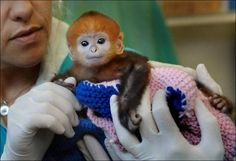 Baby finger monkey