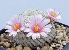 Mammillaria-Pectinifera-5-SEEDS-Rare-Cactus-Samen-Korn-Semi-Graine