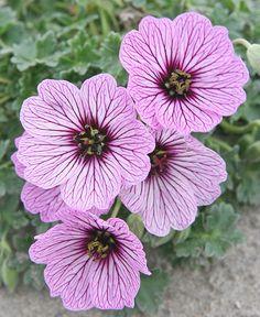 landscaping – Gardening Ideas, Tips & Techniques Perennial Geranium, Cranesbill Geranium, Hardy Geranium, Hardy Perennials, Flowers Perennials, Planting Flowers, Amazing Flowers, Love Flowers, My Flower