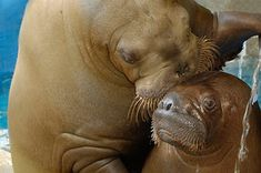 Walrus kisses are the best kind of kisses