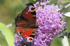 Peacock butterfly in Surrey, England by Bentajer, via Flickr