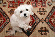 Maltese Dog Breed, Maltese Mix, Designer Dogs Breeds, Coton De Tulear, Large Dog Breeds, Puppy Mills, Mixed Breed, Four Legged, Dog Design