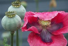 Poppy Pods in the Rain