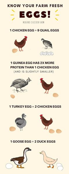 Farm fresh eggs are better for you but did you know there is a difference between types of eggs? Chicken, duck, goose, quail, guinea and even turkey eggs have different nutritional content and protein levels per egg.