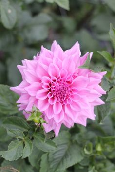 "This dahlia is a large size flower head, around 6"", and is a pinky lavender color.  Sometimes it appears lilac or is a lighter shade of pink depending on how shaded the flowers are.  Shipping begins in April."
