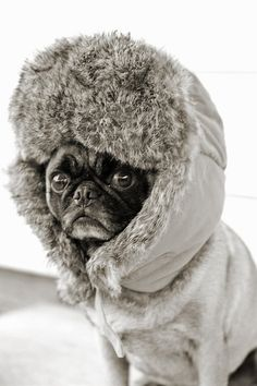 Baby it's cold outside - Pug knows how to stay warm during the last cold snap.