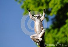 Lemur - Download From Over 56 Million High Quality Stock Photos, Images, Vectors. Sign up for FREE today. Image: 87792391