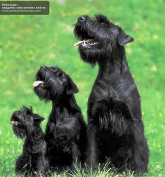 Ranked as one of the most popular dog breeds in the world, the Miniature Schnauzer is a cute little square faced furry coat. Black Schnauzer, Standard Schnauzer, Giant Schnauzer, Schnauzer Puppy, Miniature Schnauzer, Baby Dogs, Pet Dogs, Dog Cat, Beautiful Dogs