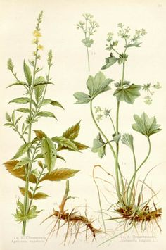 [ Botanical Print: Agrimonia eupatoria ]  Agrimony ~ on Monterey Bay Spice Co.