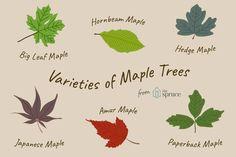 12 Common Species of Magnolia Trees and Shrubs Maple Tree Tattoos, Bonsai Tree Tattoos, Pine Tree Tattoo, Leaf Tattoos, Maple Trees Types, Maple Tree Varieties, Big Leaves, Tree Leaves, Fall Leaves