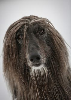 "Afghan Hound ""Billy"" by Sandro Bisaro"