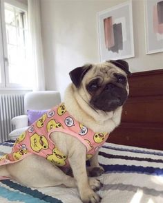 """Excellent """"black pug"""" information is available on our website. Read more and you wont be sorry you did. Pug Information, Teacup Pug, Animal Hugs, Black Pug Puppies, Baby Pugs, Pug Pictures, Beagle Puppy, Cute Pugs, Pug Love"""