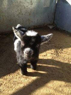 Baby Pygmy Goat...Valentine's Day