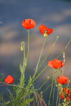 Poppy | Flickr: Intercambio de fotos
