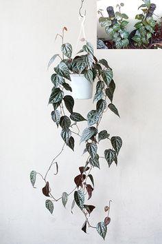Piper crocatum - indoor display