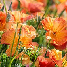 California Poppy 'Apricot Chiffon' Seeds Eschscholzia californica - Sunshine Flower Seeds