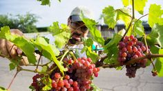 Tucson gardeners growing edibles in city rights of way  -  Luis Perales, in a nod to his grandparents, plants grapes.
