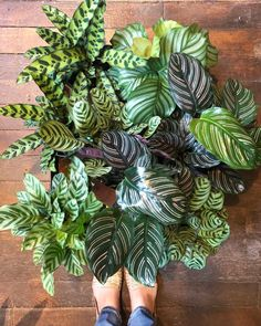 Calathea are just amazing. Perfect foliage plants that are easy to care for!!  See you tomorrow @ 11am! #calathea #foliage…