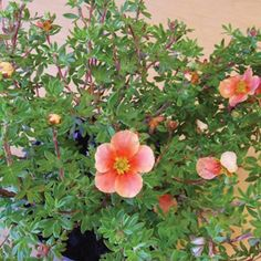 HGTV Potentilla Cutie Pie Pink(TM) Trim almost to the ground in early spring to encourage new growth and increase flower power.