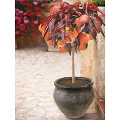 Patio Peach Crimson Bonfire Potted Fruit Tree 7.5L (346620) | Ideal World