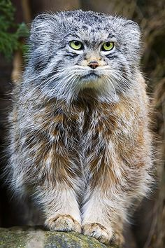 Pallas Cat - Pallas's cat, also called the manul, is a small wild cat having a broad but patchy distribution in the grasslands and montane steppe of Central Asia.