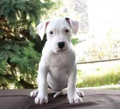 Dogo Argentino Puppy..i want just cuz its the most agressive dog and its name is argentina!