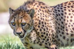 These cats are built for speed. Cheetah photo by George Tabler.