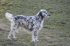 English Setter.. this was the first breed of dog my family had when i was a baby. her name was Shelley because she ate shells all the time at the beach.