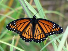 butterfly photos | Viceroy Butterfly: A Mimic of the Monarch--can you tell the difference ...