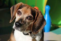 Shelby est la partenaire d'Annie Provencher, directrice de la clinique un museau vaut mille mots! Cette magnifique pocket beagle de 6 ans est pleine de sagesse, de douceur et d'amour! Ce coeur sur pattes prendra bientôt sa retraite! #dog #beagle #zootherapie